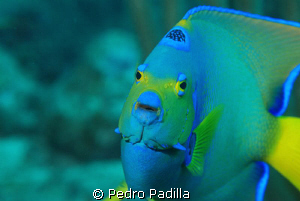 Queen Angelfish smile